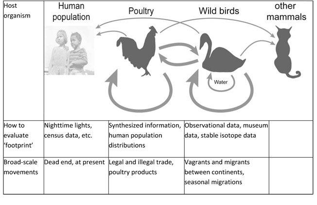 ecology of birds flu Low pathogenic influenza a virus (lpiav) prevalence and subtype distribution  differs between and across bird taxa a crucial factor in the.