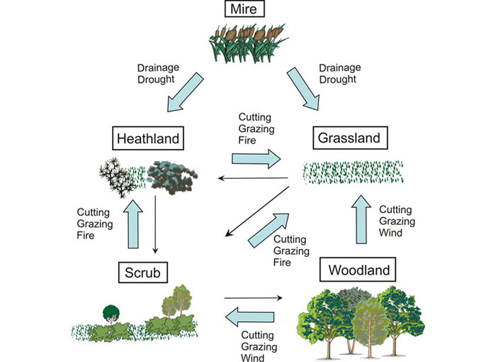 fig    schematic diagram indicating the different ecosystem    schematic diagram indicating the different ecosystem states and transitions in the new forest  note that narrow arrows indicate successional changes