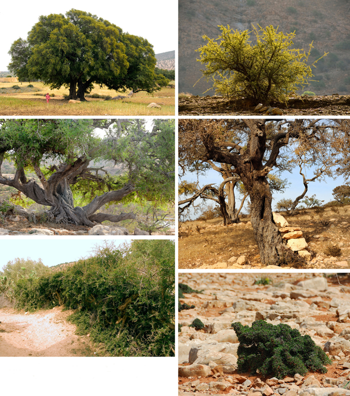 Fig 4 Domesticating The Argan Tree Umbrella Shape For Trees In Fields Above Left Several Stems Collective Rangelands Right